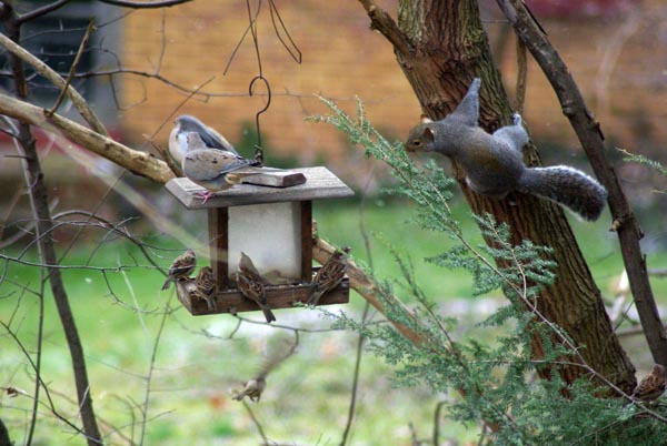 doves, sparrows and squrrel at the feeder