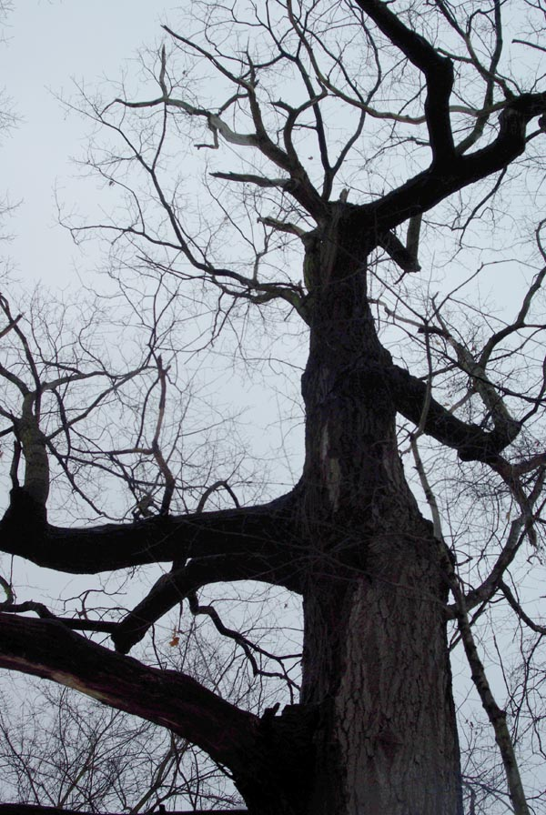photo of a bare red oak tree