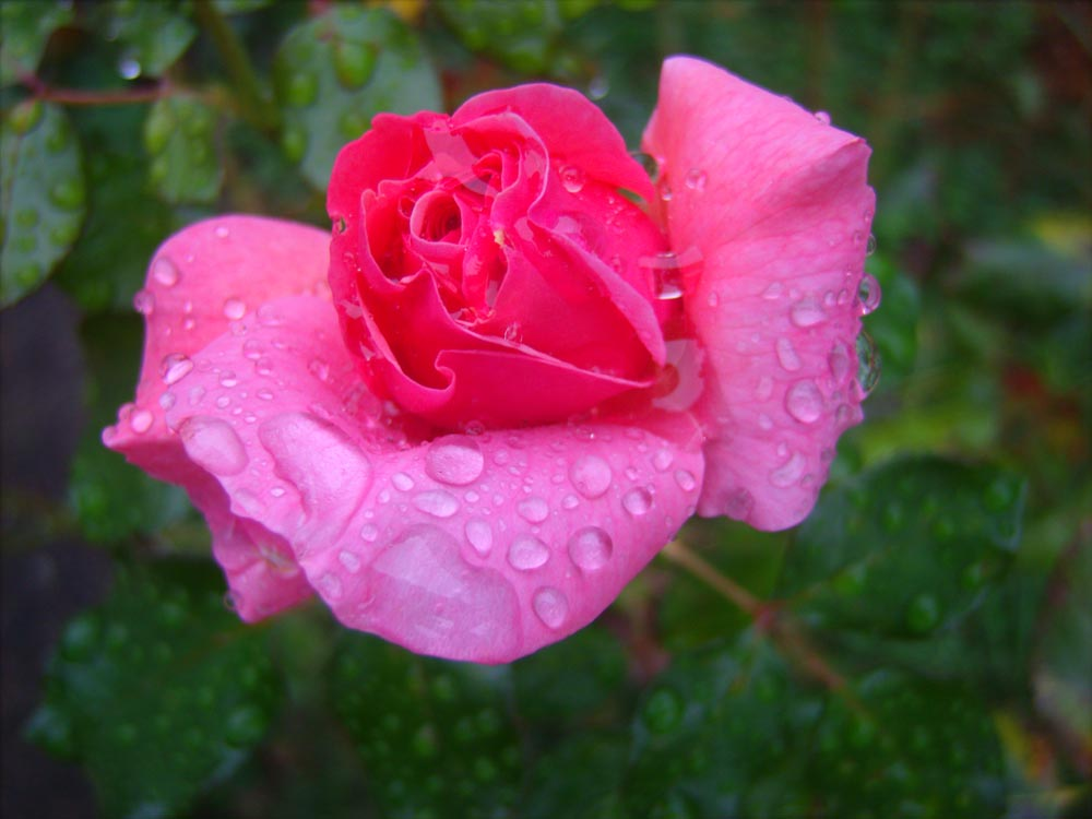 photo of rose with raindrops