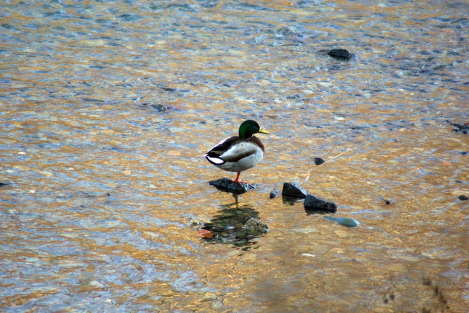 mallard duck standing on rock in water