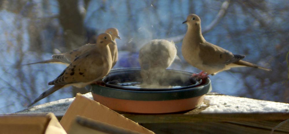 mourning doves around bird bath