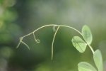 pea vine tendril