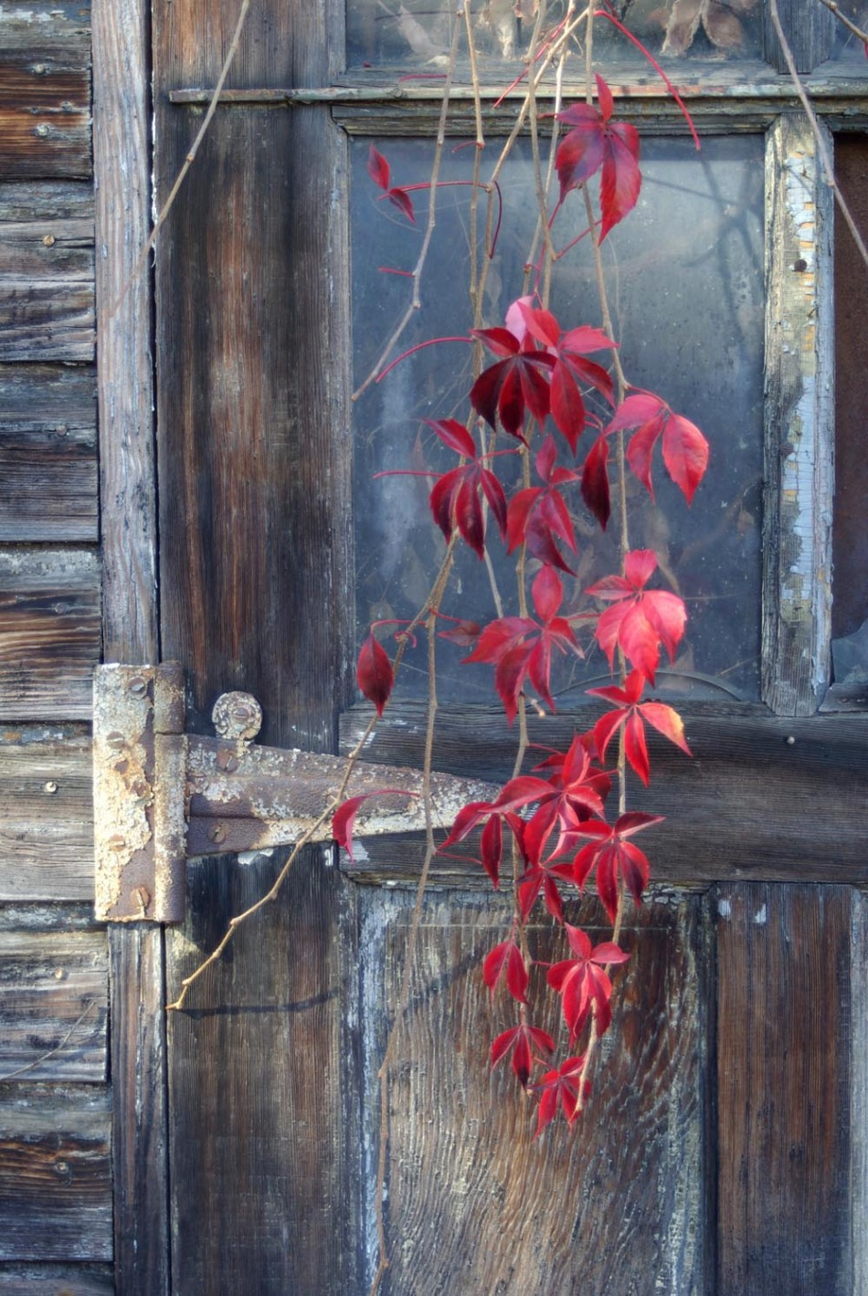 virginia creeper on weathered door