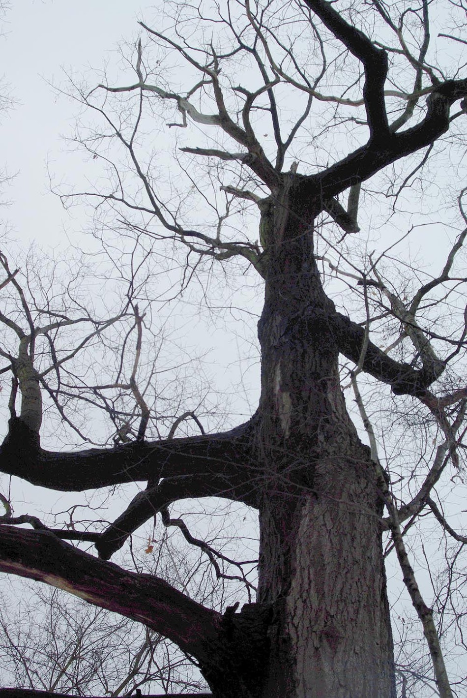 The Red Oak Tree lifts its craggy old arms to a gray winter sky.
