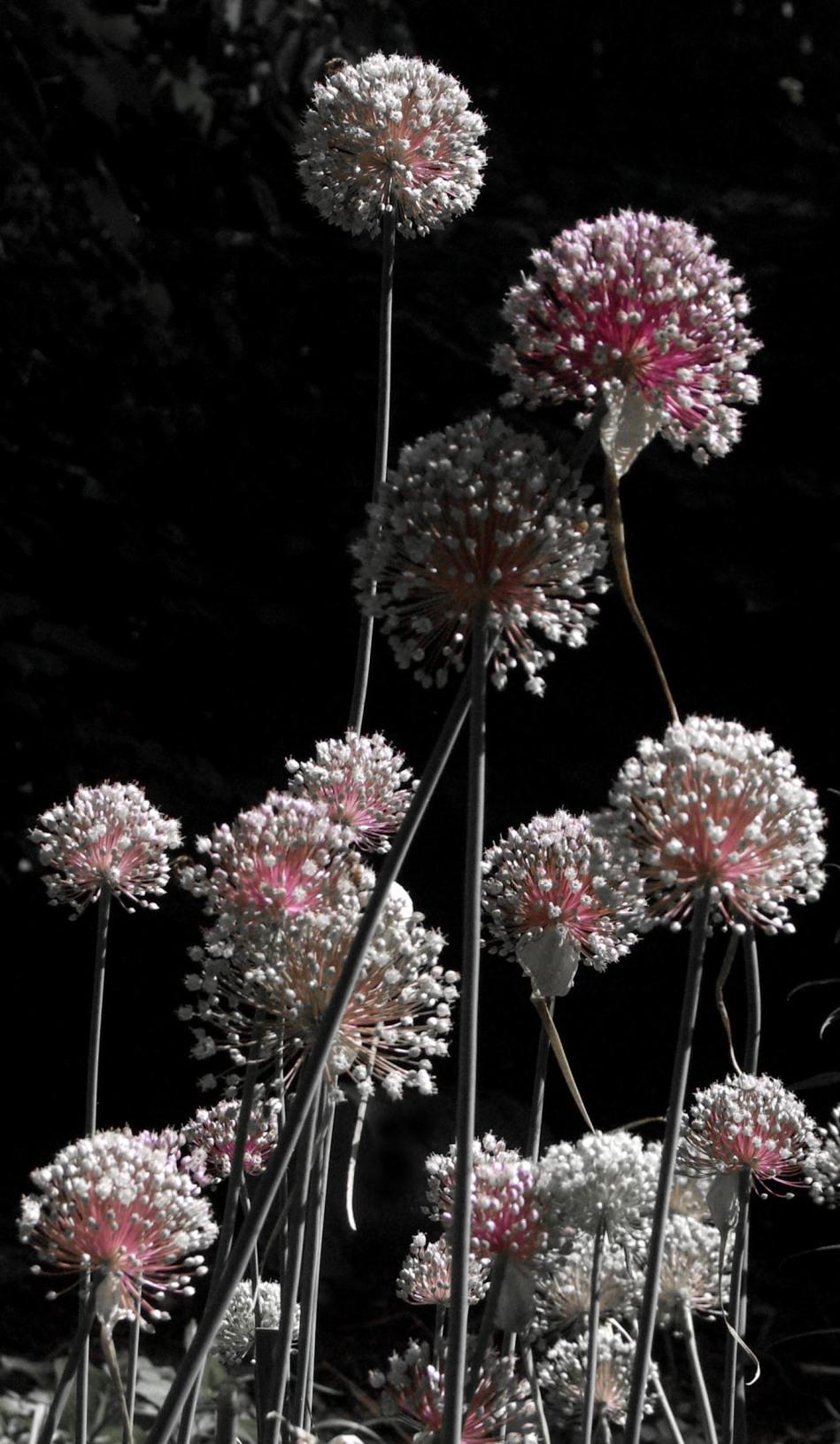 leek flowers desaturated