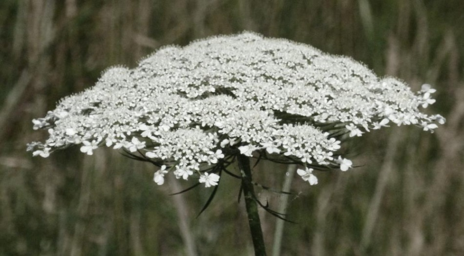 umbel of Queen Anne's Lace