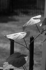 three morning glory leaves in black and white