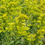 photo of goldenrod