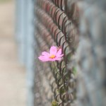 cosmo through fence