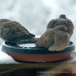 three doves on birdbath
