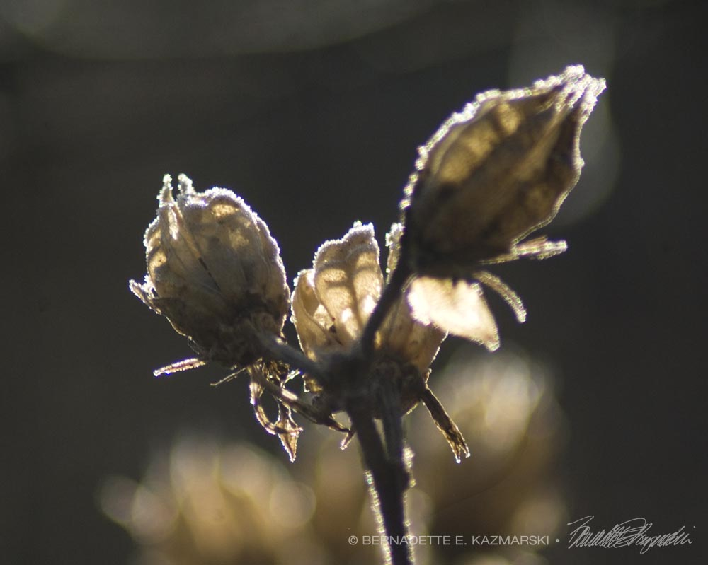 Alight: Rose of Sharon pods outlined with frost and filled with sun.