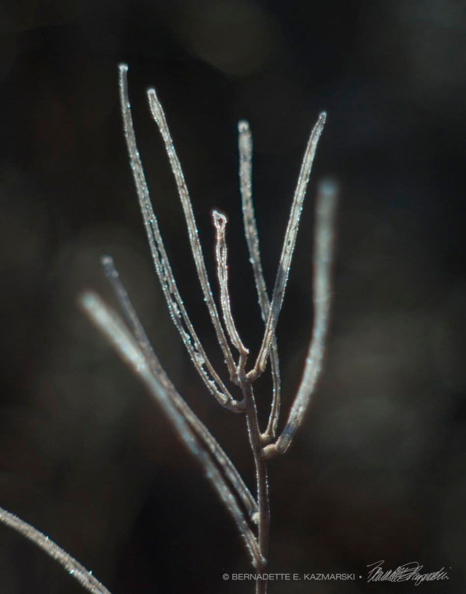Frosted: Blue Vervain stems are completely coated and look like pipe cleaners (chenille sticks).