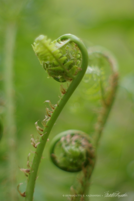 20 Lime Fiddleheads-1000px